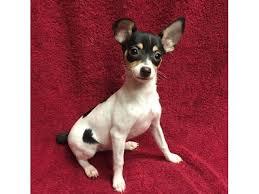 aca toy fox terrier puppy s
