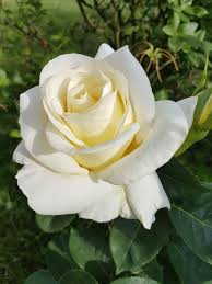 HD wallpaper: white rose, Flowers, rose - flower, petal, flower head,  nature   Wallpaper Flare