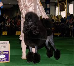 magic castle poodles in albany