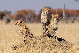 helps scientists to list cheetahs
