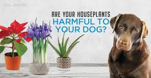 5 poisonous plants for dogs 4 safe
