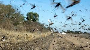 Plaga de langostas afecta al norte de Argentina y amenaza a Brasil ...