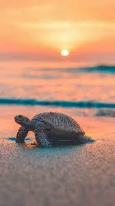 sea turtle iphone wallpaper sea sunset