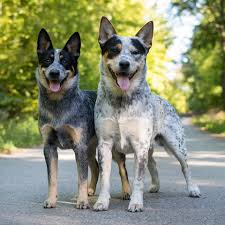 Alinga HogWild - Australian Cattle Dog - Photos | Facebook