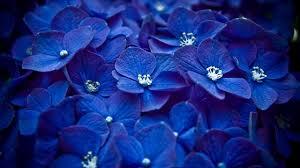 خلفيات ورود جميلة جدا الورود الزرقاء عيون الرومانسية