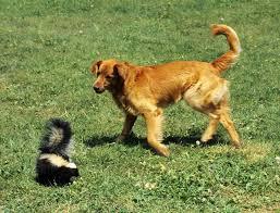 de skunk your dog