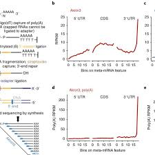akron seq identifies native mrna ends