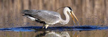 Heron Symbolism Dreams And Messages Spirit Animal Totems