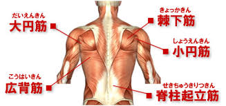 「背筋の筋」の画像検索結果