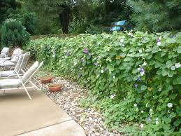 Poolside Chain Link Fence Covered With Morning Glory S Beautiful Do It Every Year Chain Link Fence Cover Garden Vines Fence Landscaping