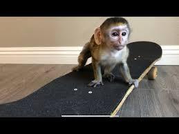 baby monkey rides skateboard full