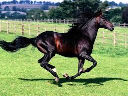صور حصان خلفيات خيول عربيه جميله صباح الورد