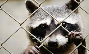 What Is The Best Method For Raccoon Control