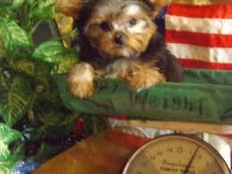 akc tiny toy teacup poodles