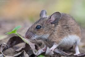 Stara Zelandia - blog nieaktywny : Mysz myszy nierówna!