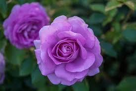 purple roses vs lavender roses