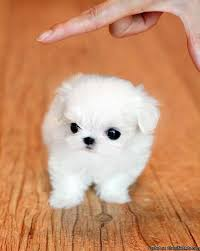poshfairytail teacup maltese Ivy - Price: 3600 for sale in Richmond,  California - Best pets Online