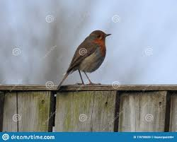 A Garden Robin Standing On A Fence Post Stock Photo Image Of Post Garden 178700656