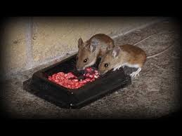 watch rodents eating poison how to