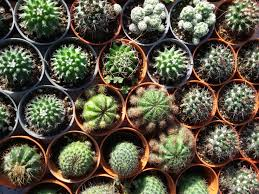 cactus plants 9 things to know about