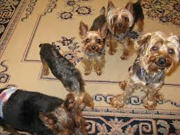 how big will teacup yorkies get