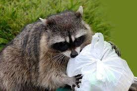 Humane Raccoon Control Removal Services Toronto Hawkeye