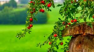 images wallpapers of apple tree in hd