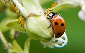 ladybugs in the garden and greenhouse