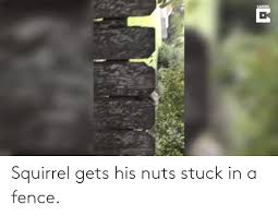 Squirrel Gets His Nuts Stuck In A Fence Squirrel Meme On Me Me