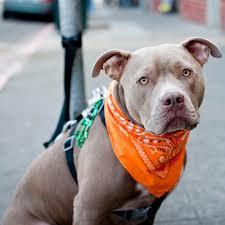 cute pitbull dog ipad wallpapers free