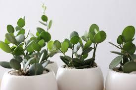 ayanas fleshy plant fashion green drum