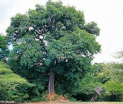the jackalberry tree can grow very