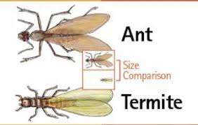 45+ Flying Ants Vs Termites Pictures Gif