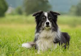 11 stunning border collie colors coat