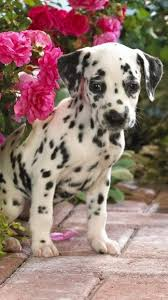 puppy live wallpaper pictures of cute