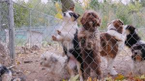 Dog Barking Behind A Fence Stock Video Video Of Brown 51746135