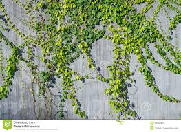 Ivy Green On Wall For Decorate Stock Photo - Image of decorate, growth:  34146362