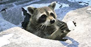 Can Raccoons Jump Onto Houses Or Over Fences