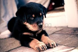 baby cute puppy rottweiler wallpaper
