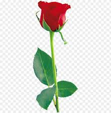red rose png red roses rose flowers