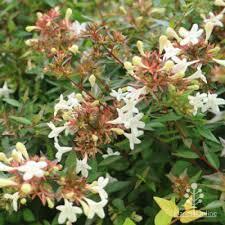 plants for full sun australian plants