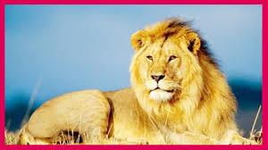 أجمل صور الأسود صور أسود معلومات عن الأسد ملك الغابة Lion
