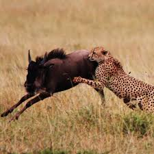 How Cat Flaps For Warthogs Can Help Save The Cheetah