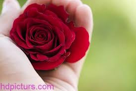 صور ورود حمراء 2020 اجمل صور ورد احمر حلو Roses صور خلفيات