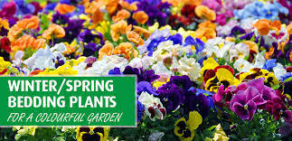 winter spring bedding plants for a