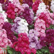 stock most scented mix plug plants