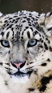 snow leopard wallpaper 98311
