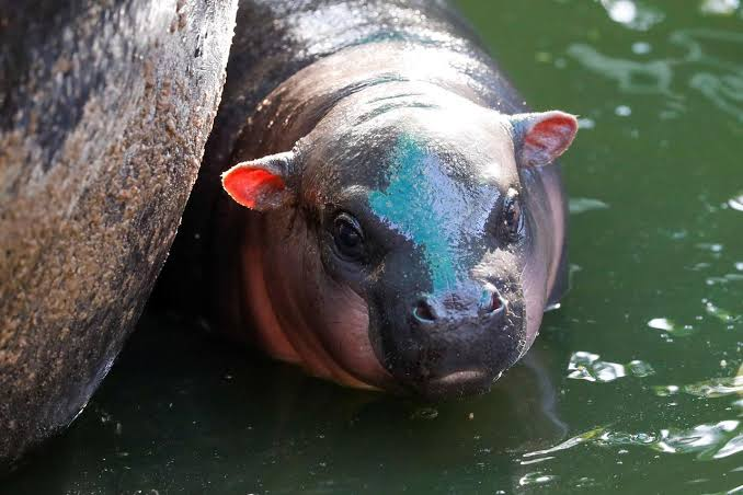 """Image result for A question of taste in Thai contest to name baby pygmy hippo"""""""