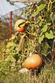 can pumpkins grow on trellises