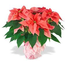poinsettia delivery at 1 800 fls